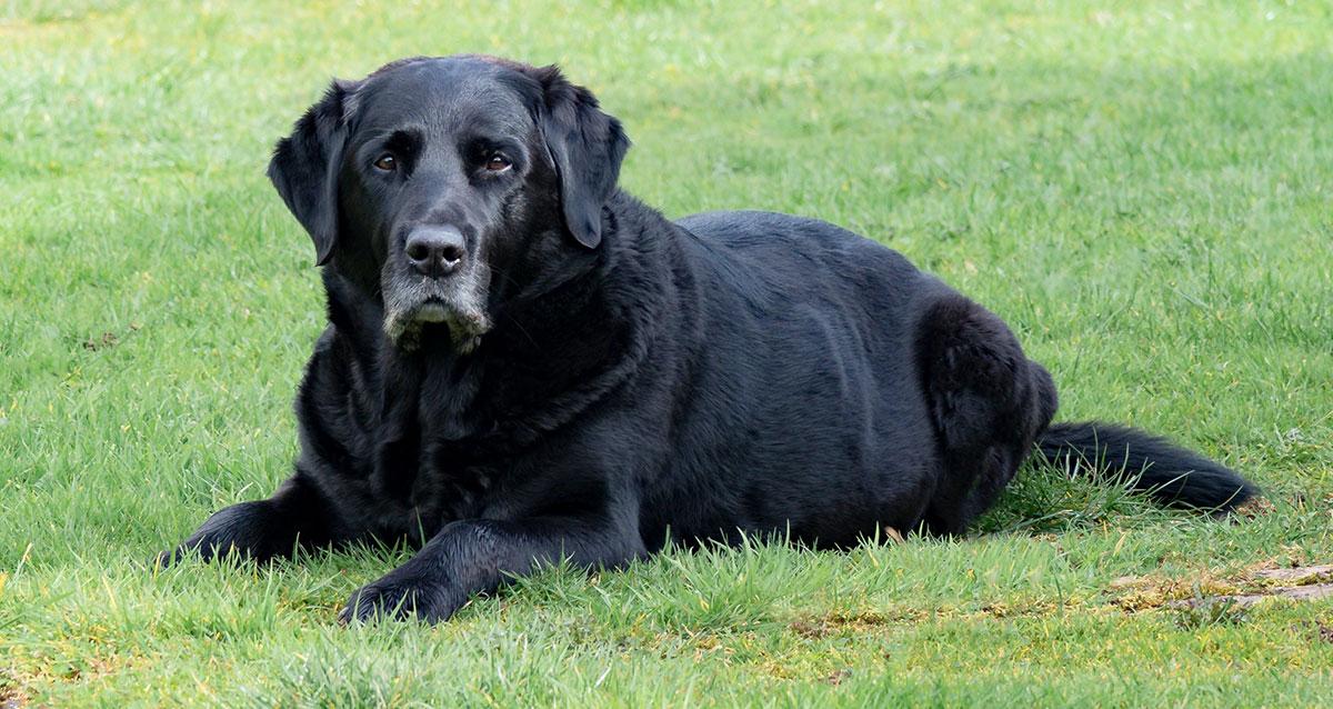 faithful old labrador lying in grass