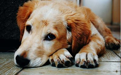 old dog lying on floor